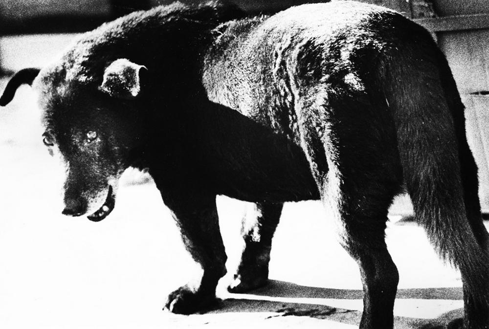 Daido Moriyama - Stray Dog - 1971